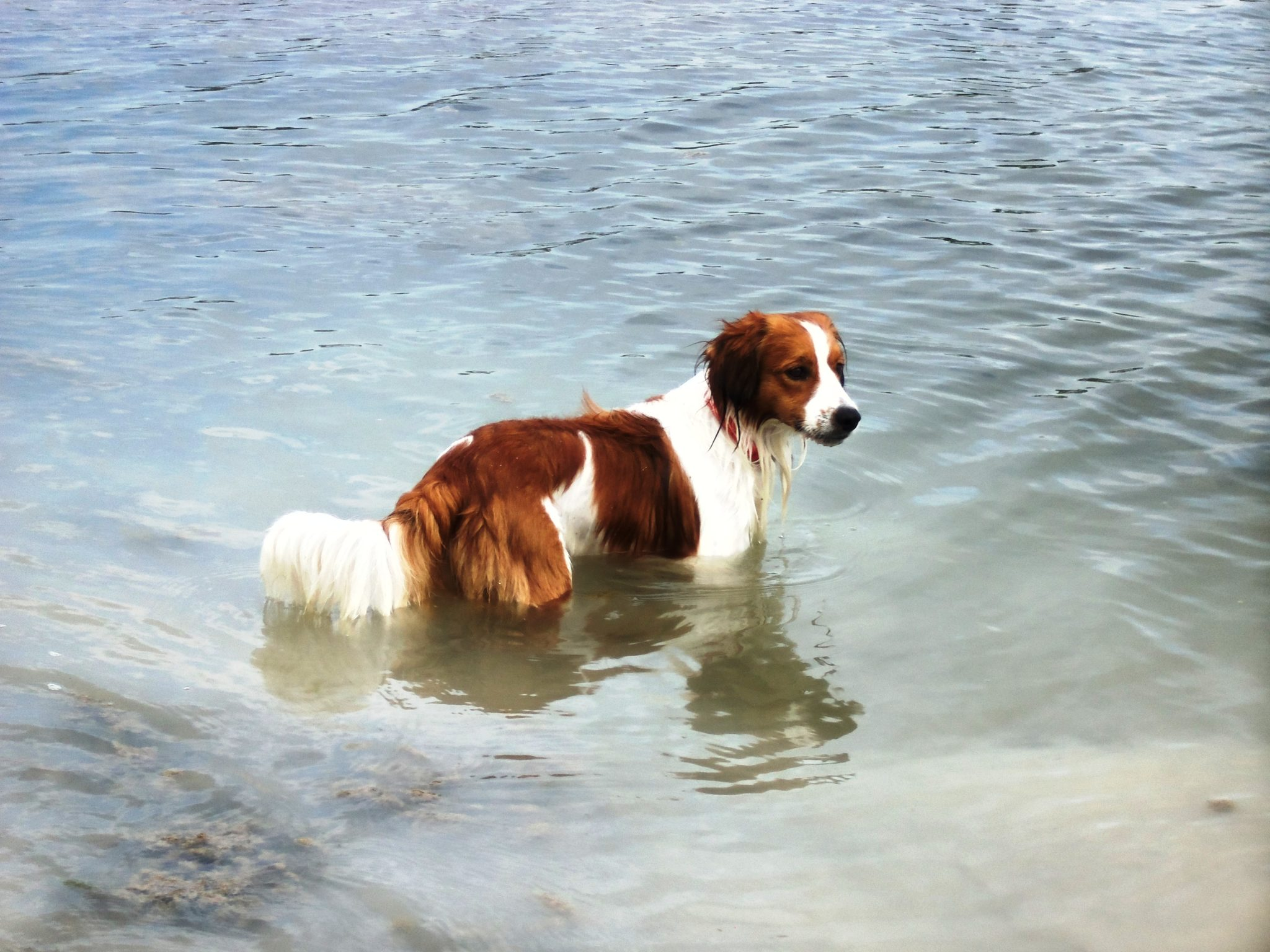 Kooiker in the water