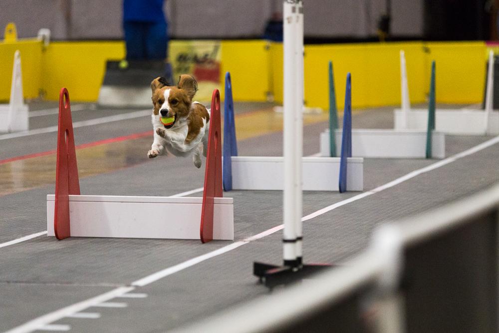 Kooikerhondje Finn Running  Flyball
