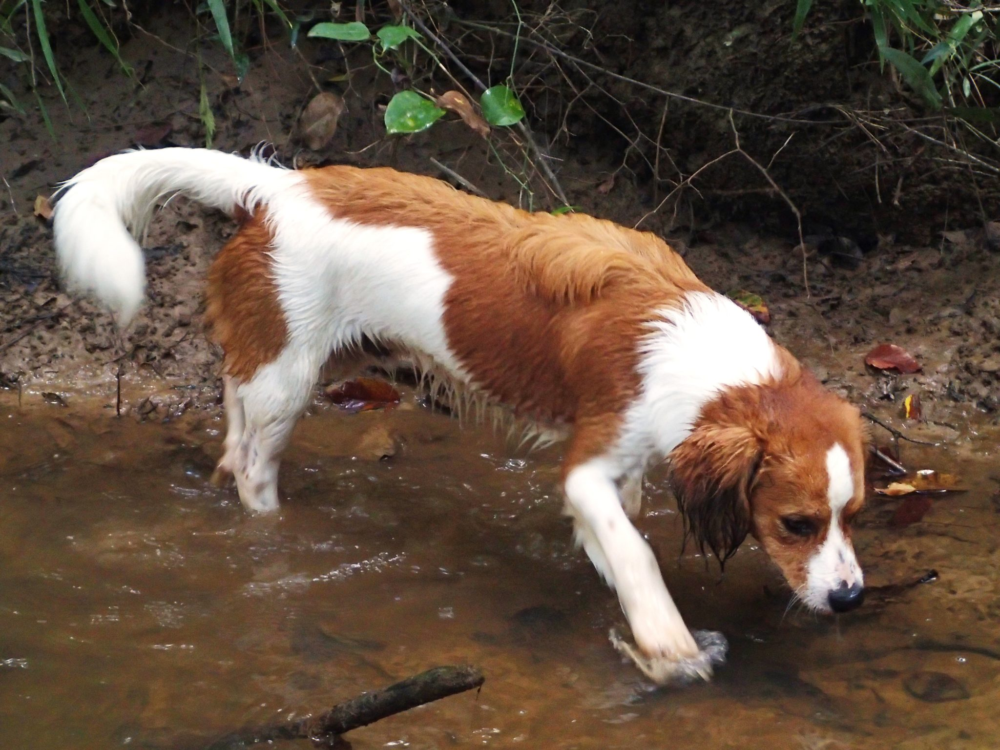 More Events for Kooikerhondje
