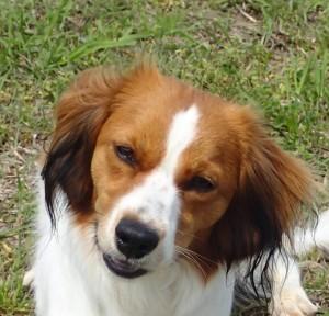 Kooikerhondje Mendikan Clanci Bema received her Canine Good Citizen certificate today