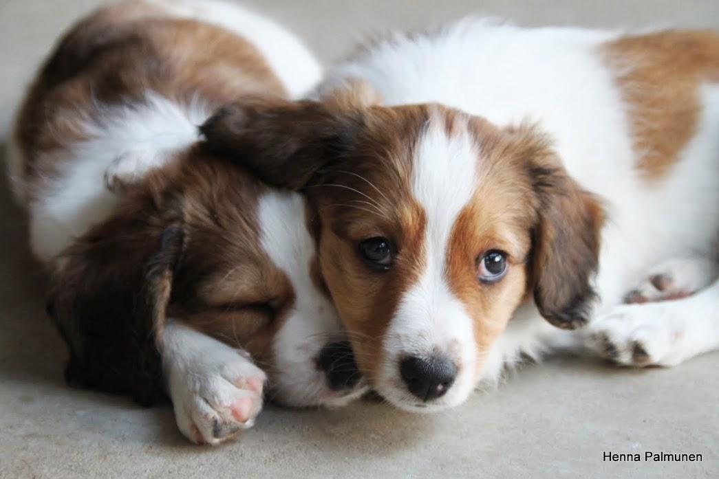 kooikerhondje puppies