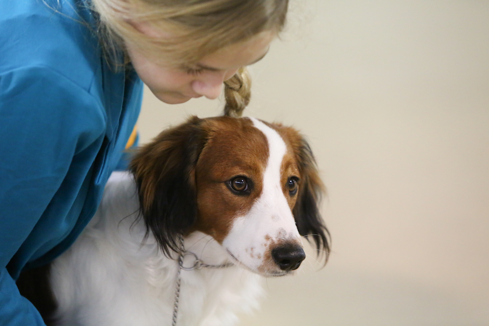 Kooikerhondje and a junior handler