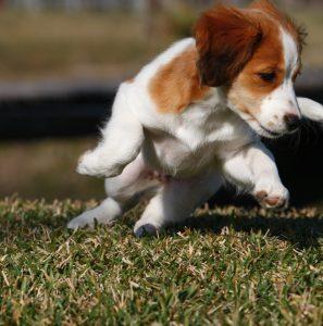 Kooikerhondje Puppy, Lucy
