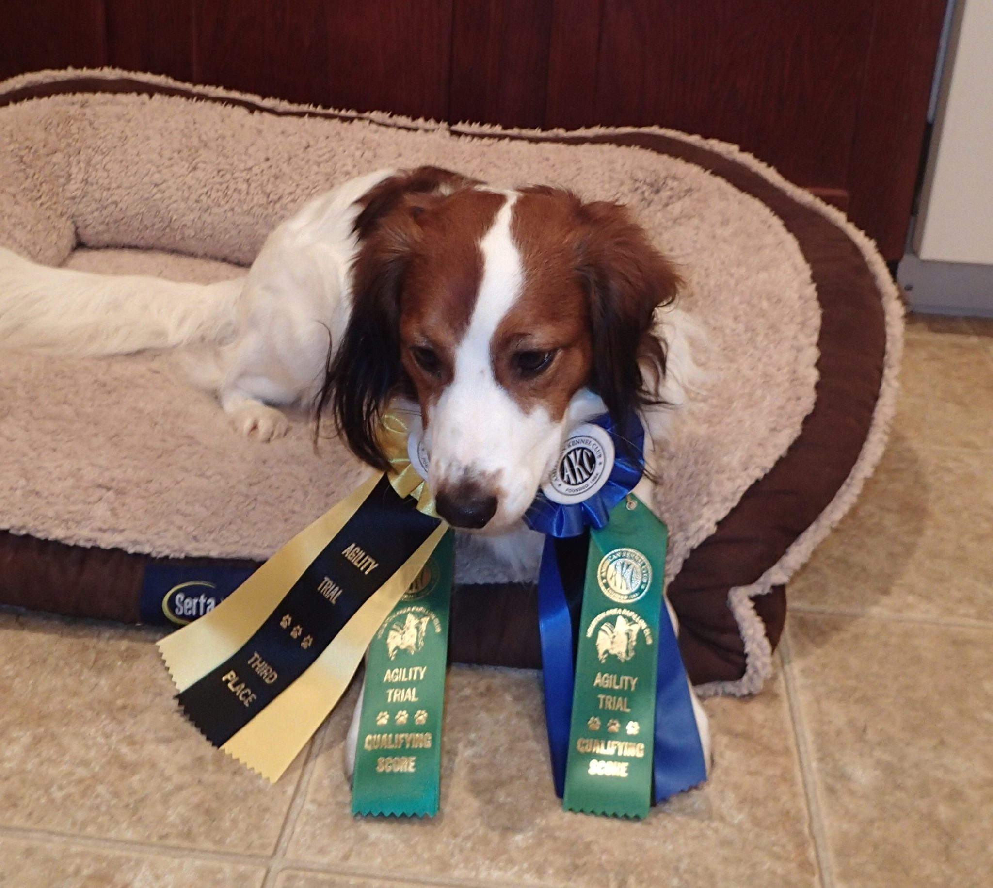 Astro made his agility debut today with 2 Q's and 100 scores!