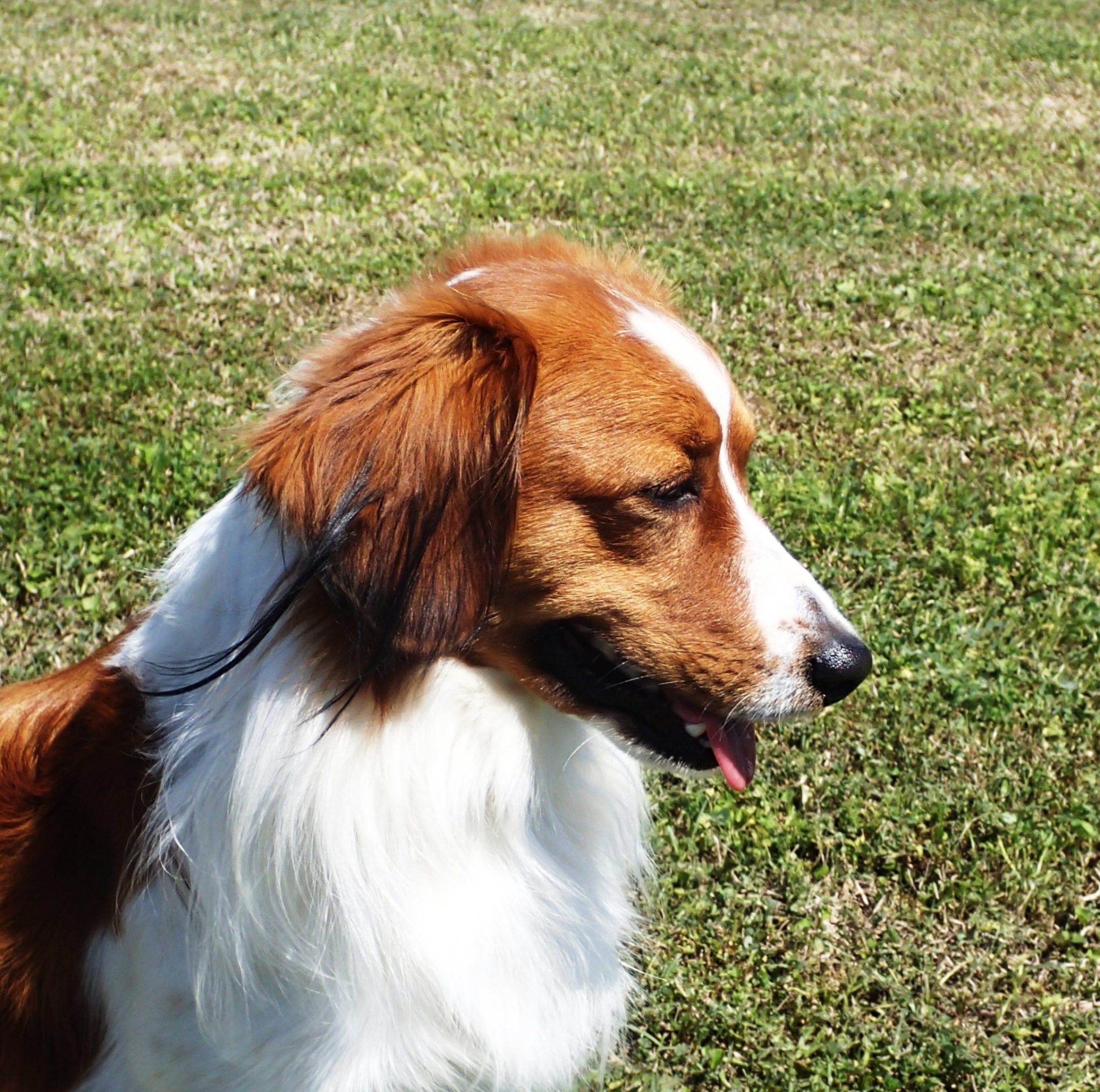 Waterbound's 5th Kooikerhondje  is  now listed on the Canine Health Information Center's  Web Site