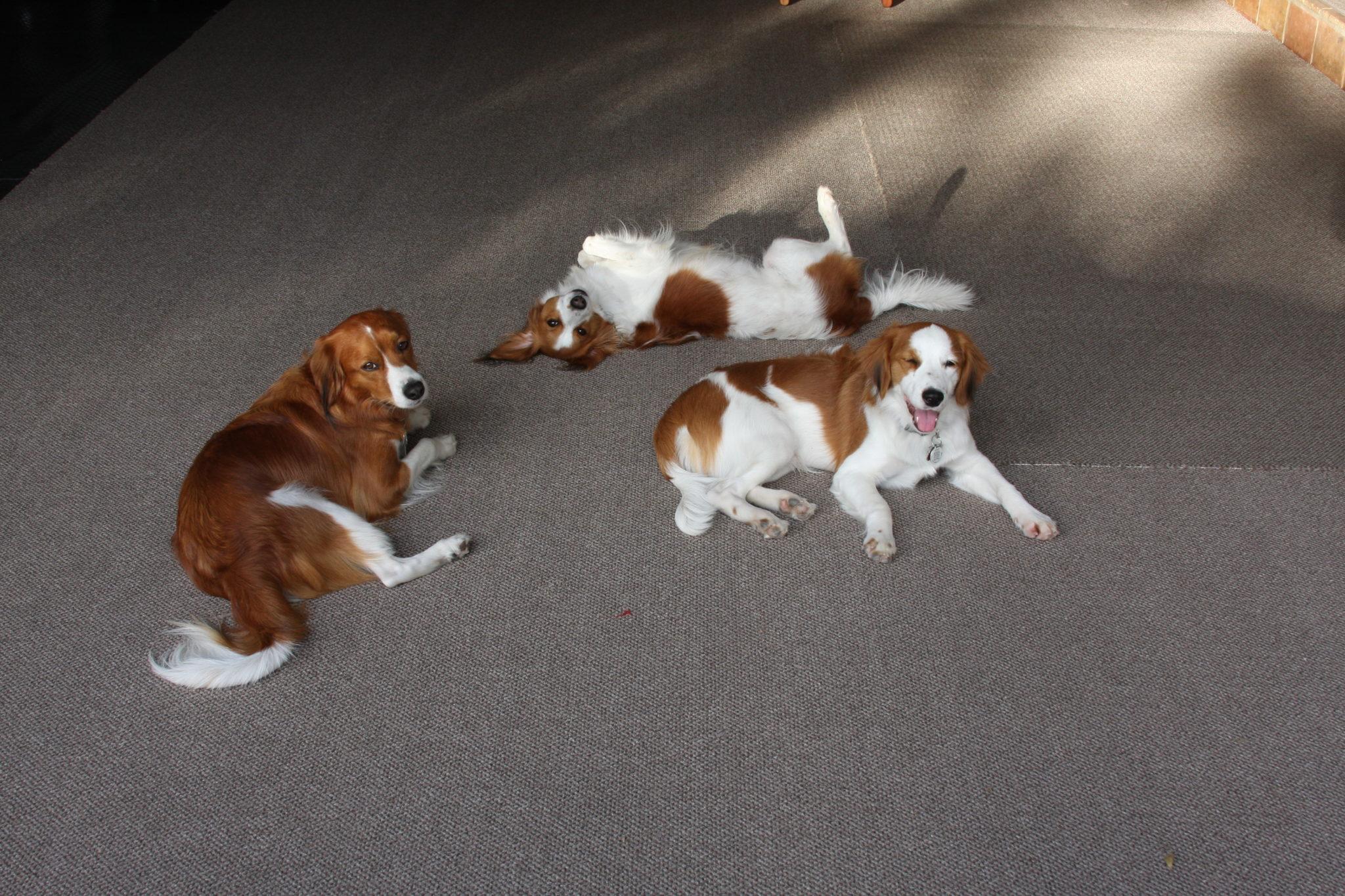 """Kooiker, """"Puppy"""" Glancy"""