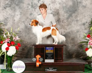 kooikers, kooiker, kooikerhondje, kooikerhondjes, kooikerhondje in show