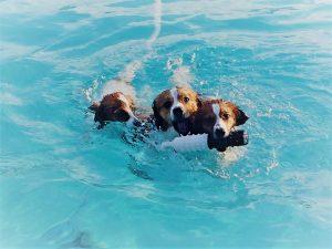 Kooikerhondje, Kooikerhondjes, Nederlandse Kooikerhondje, nederlandse kooikerhondjes, kooiker, kooikers, kooiker puppies, kooikerhondje puppies, nederlandse kooikerhondje puppies, waterbound kooikers, waterbound kooikerhondjes, spaniel, dutch decoy dog, dutch spaniel, puppies, dogs